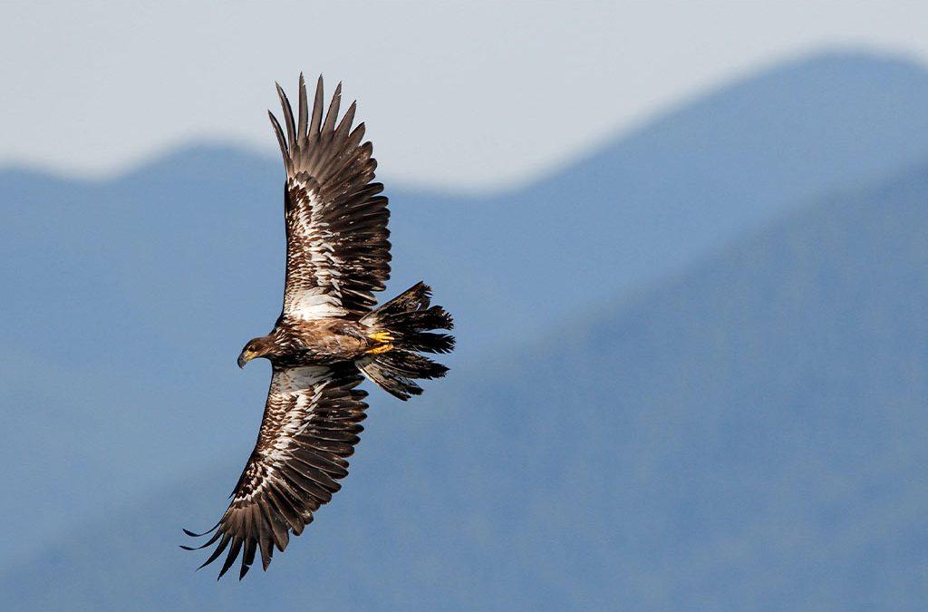 Attaqué par un aigle !